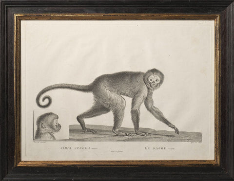 Le Sajou, Engraving by Miger, 1800