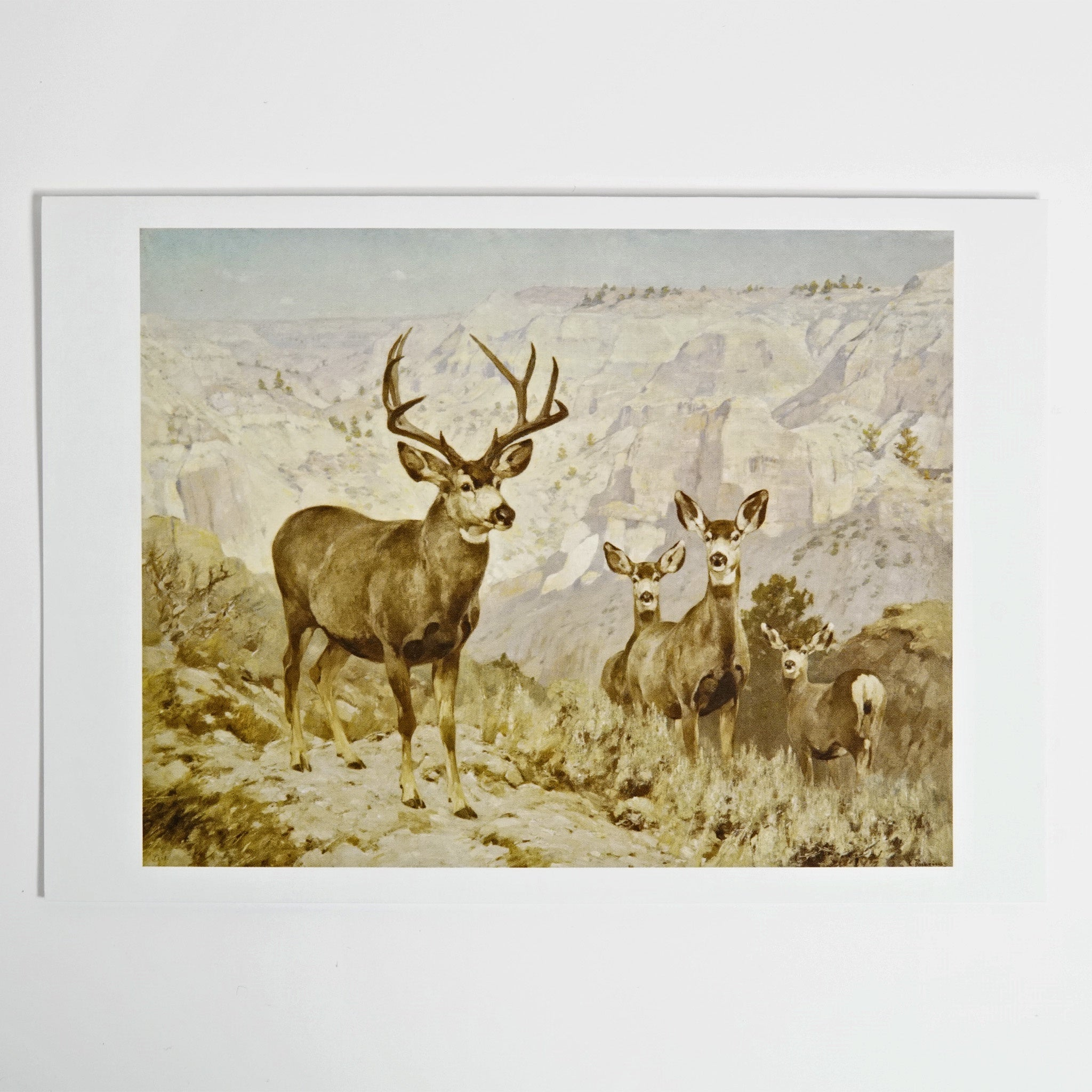 Mule Deer by Carl Rungius