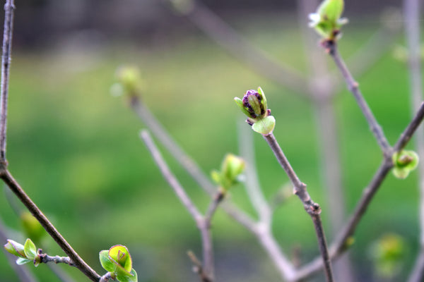 Lilac buds in early spring
