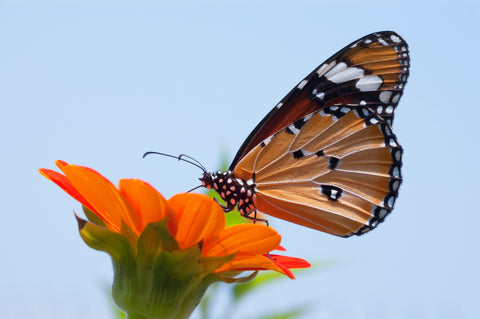 monarch butterfly pollinating an orange daisy
