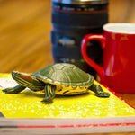 Incredible Creatures | Red-eared Slider Turtle