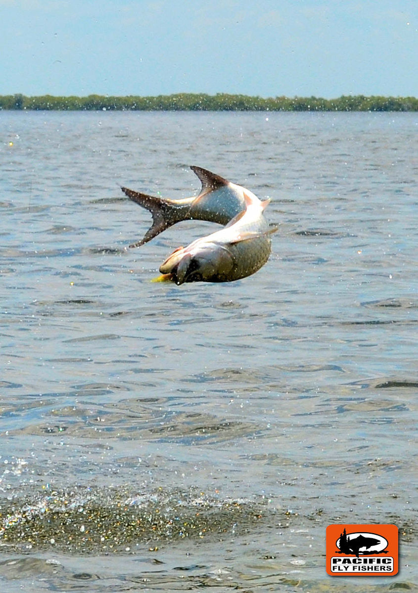 Leaping Tarpon - Fly Fishing Campeche, Mexico