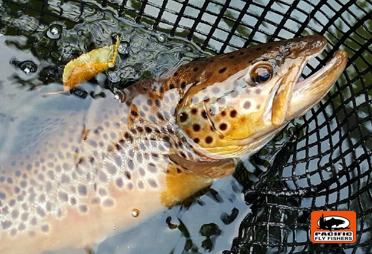 Pass Lake Brown Trout