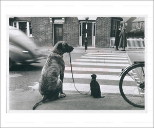 Big Dog Walking a Small Dog, photographic print - Vintage Art, canvas prints