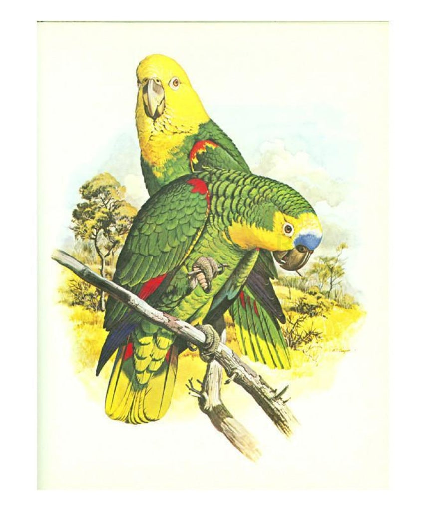 Blue Fronted Amazon no. 545, Perrot, Art print - Vintage Art, canvas prints