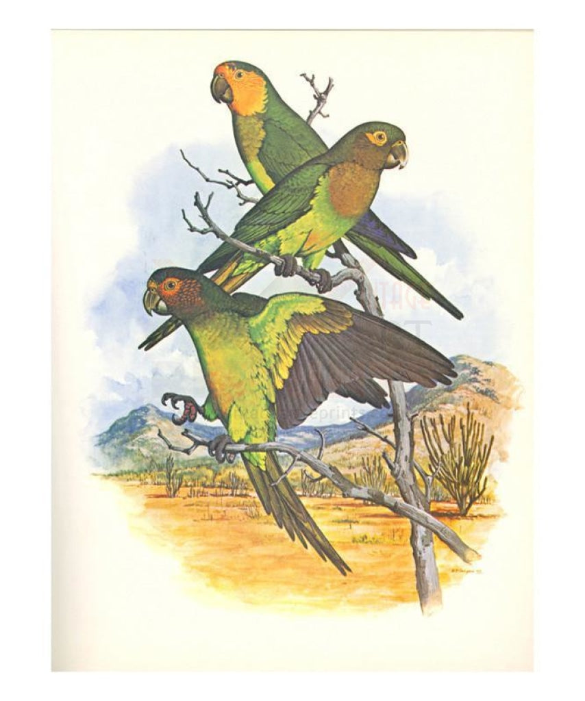 Brown Throated Conure no. 401, Giclee art print - Vintage Art, canvas prints
