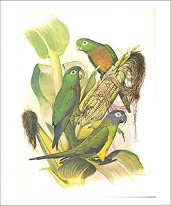 Dusky, Olive and Aztec Conures no. 400 - Vintage Art, canvas prints