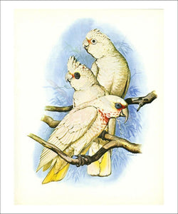 Goffin's Cockatoo no. 121 - Vintage Art, canvas prints