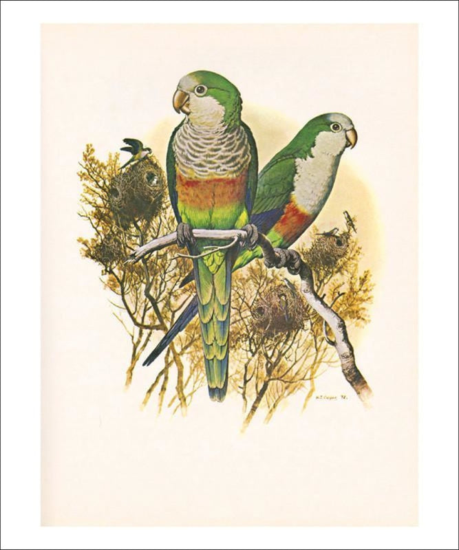Monk Parakeet no. 461, perrot, art print - Vintage Art, canvas prints