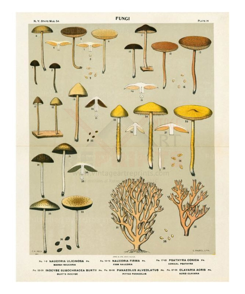 Mushrooms 3 - Vintage Art, canvas prints