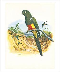 Patagonian Conure no. 429 - Vintage Art, canvas prints