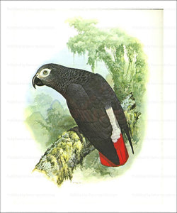 Patagonian Conure, Perrot, digital giclee print reproduction - Vintage Art, canvas prints