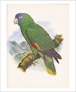 Red Necked Amazon no. 557 - Vintage Art, canvas prints