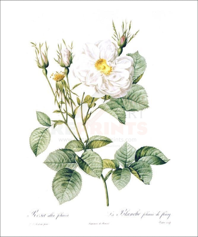 Redoute Rosa Alla Foliacea - Vintage Art, canvas prints