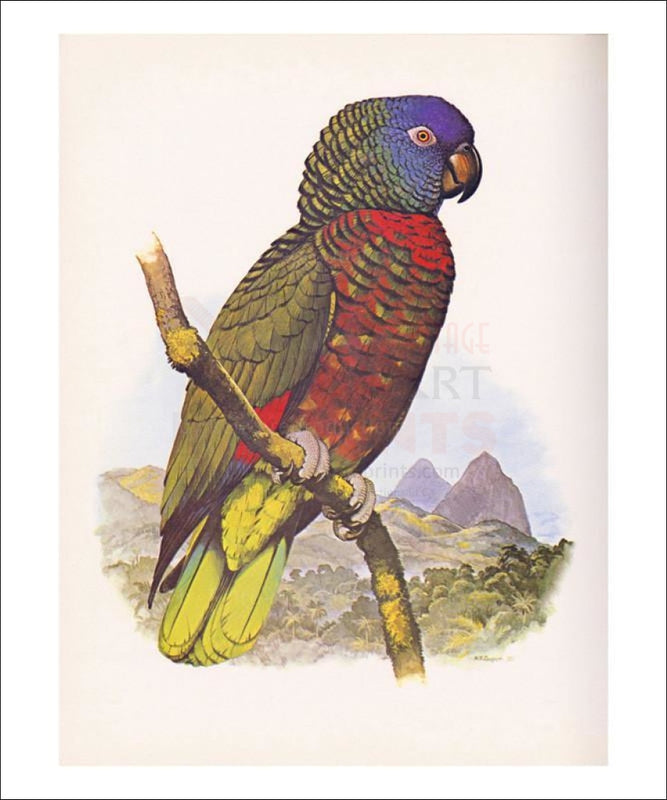 St. Lucia Amazon no. 556 - Vintage Art, canvas prints