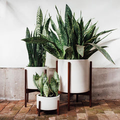 Snake Plants for your home