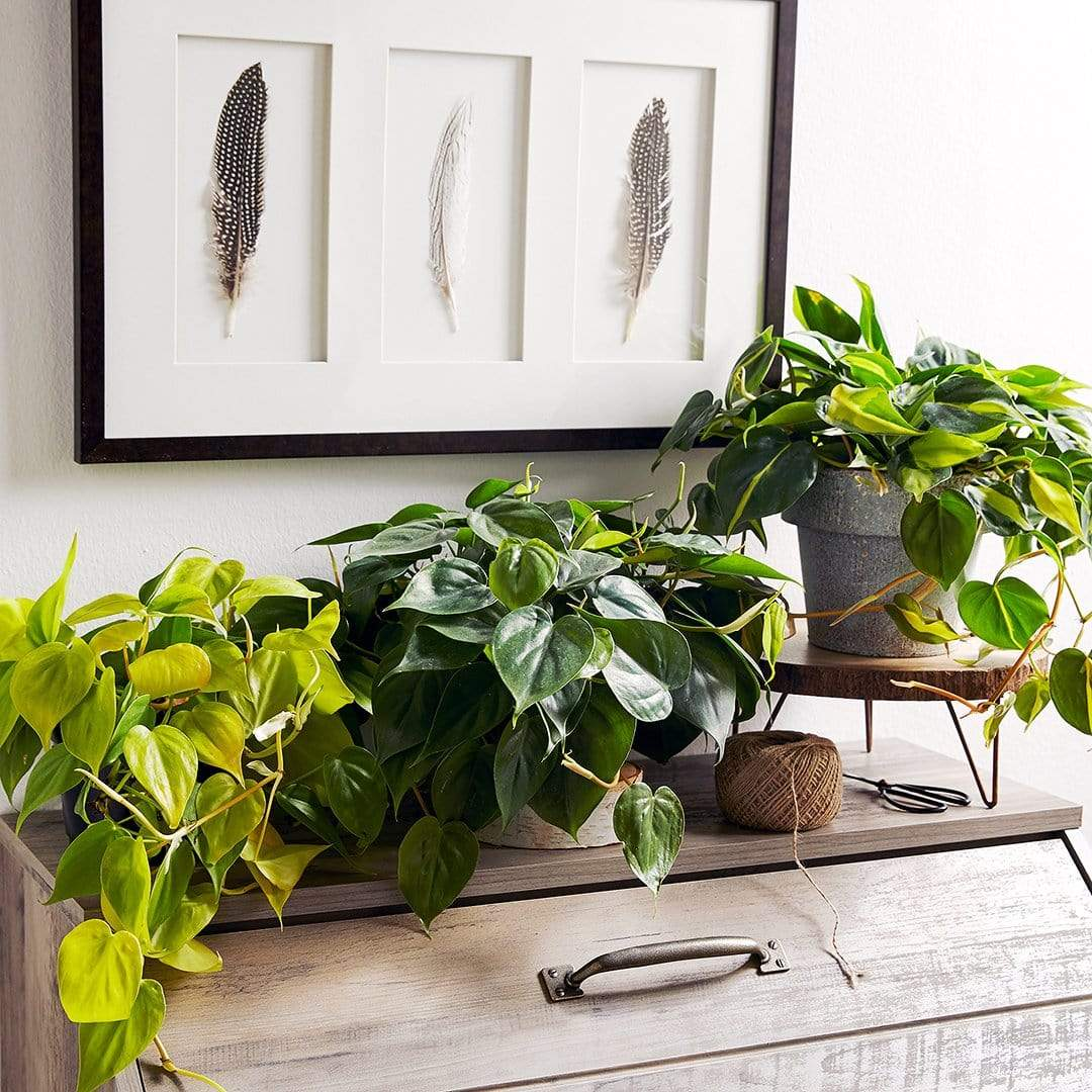 Low Light House Plants For Sale Online Garden Goods Direct