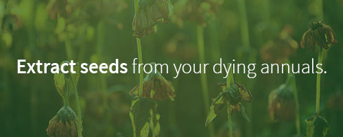 extract seeds from dying annuals to use for next year