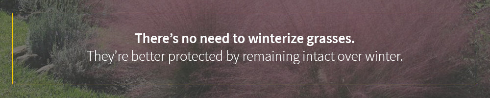 do not worry about winterizing ornamental grasses, they are perfect for winter interest