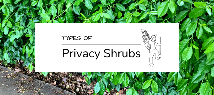 Types of Privacy Shrubs for Your Landscape