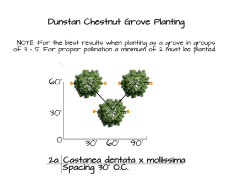 How to Plant Dunstan Chestnut Trees