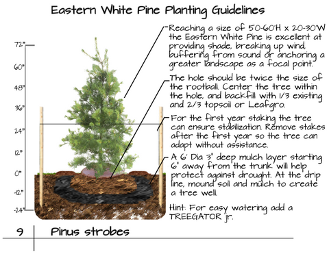 Eastern White Pine Tree Plant Guide