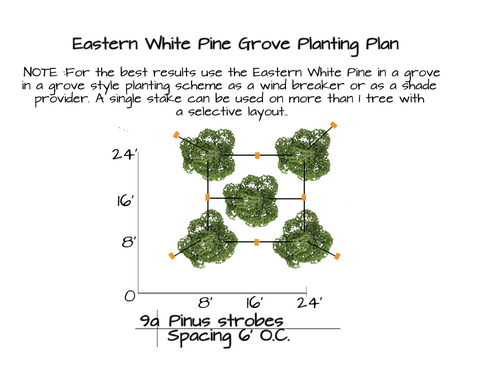 How to Plant Eastern White Pine Trees