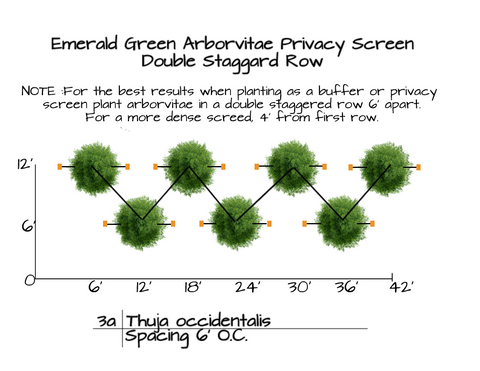 How to mass plant Emerald Green Arborvitae Trees