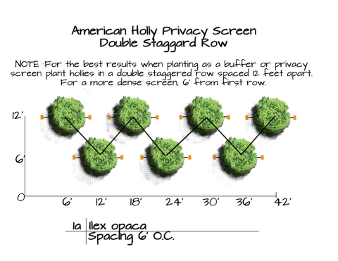 American Holly Tree mass planting graphic