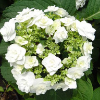 Hydrangea Double Delights Wedding Gown White Flowering Shrub