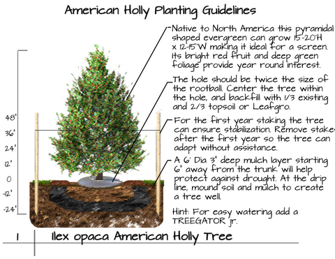 How to plant an American Holly Tree