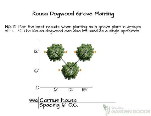 How to Plant Kousa Dogwood Trees