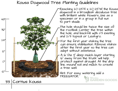 Kousa Dogwood Tree Plant Guide
