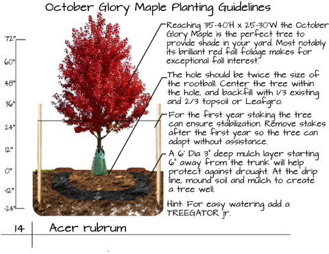 October Glory Maple Tree Plant Guide