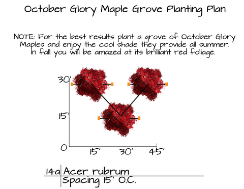 How to Plant October Glory Maple Trees