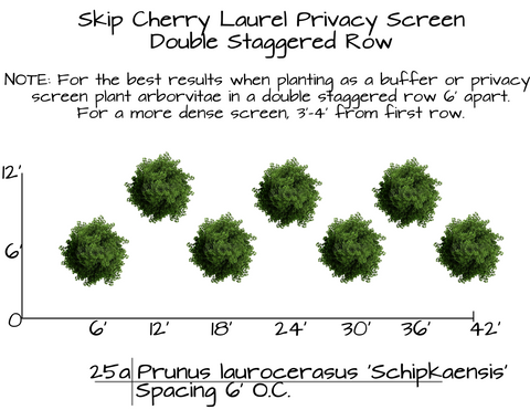 How to Plant Skip Cherry Laurel Privacy Hedges