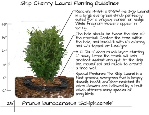 Skip Cherry Laurel Planting Guide