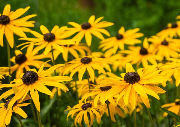 Black eyed Susan is Maryland's state flower