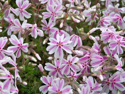 Candy Stripe Phlox perennial in full bloom with light pink and dark pink striped flowers