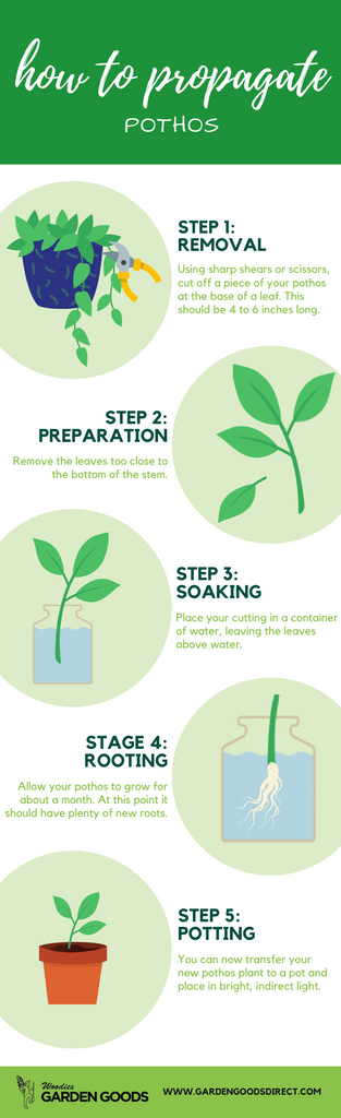 how to propagate pothos plants