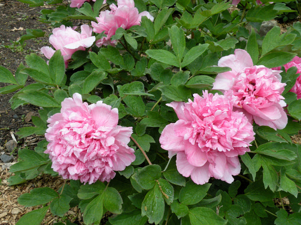 Peony perennial in full bloom with fluffy and ruffled pink flowers
