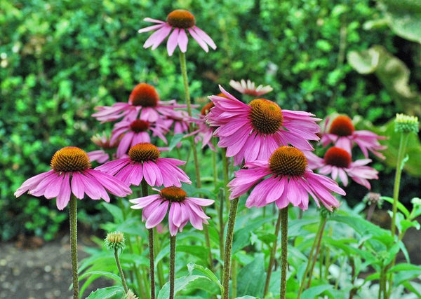 Purple Coneflower or Echinacea with purple blooms and fuzzy green foliage