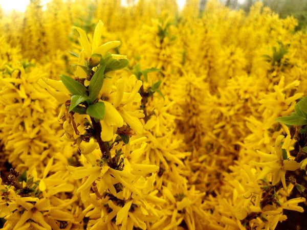Show off Sugar Baby Forsythia in full bloom with yellow flowers