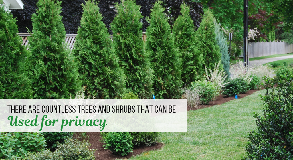 There Are Countless Trees and Shrubs That Can Be Used for Privacy