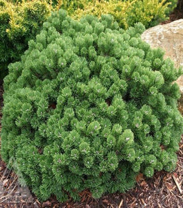 Mugo Pine Shrubs