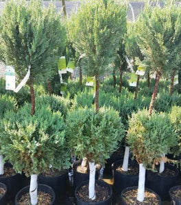 Blue Point Juniper Two-Ball Topiary Trees