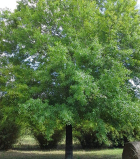 Buy Willow Oak Tree Online | Free Shipping Over $99.99