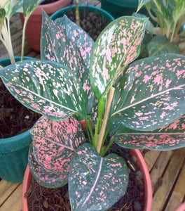 Pink Aglaonema Plants