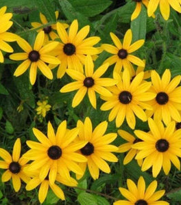 Black-Eyed Susan Rudbeckia Plants