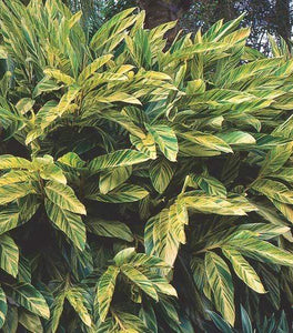 Variegated Shell Ginger Plants